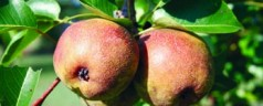 Backyard fruit trees need fertile soil, sunny location