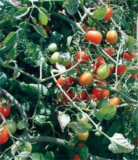 Tomato sequencing project sheds light on its origins