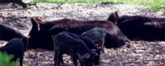 UF/IFAS experts find feral hog control efforts often fail, now investigating why