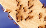 Fall is the perfect time to tackle fire ants