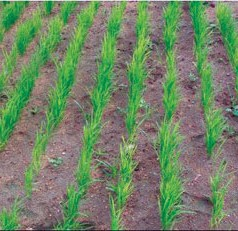 Rice grown without paddies can feed drought-stricken communities, UF/IFAS expert says