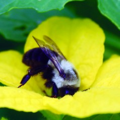Most ground-nesting bees are useful pollinators