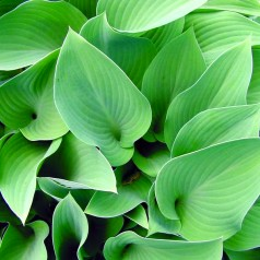 Versatile, hardy hostas becoming a mainstay in Georgia landscapes