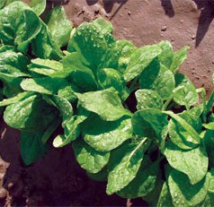 Factors That Influence Spinach Contamination Pre-Harvest Determined