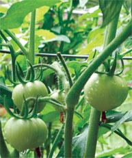 Rooting tomato suckers can provide great mid-season replacement plants, extend harvest
