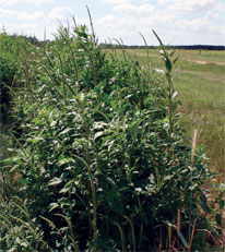 Palmer amaranth tough foe for cotton farmers