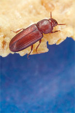 New Trap on Tap for Better Beetle Control