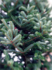 Georgia Christmas tree acreage is down, but prices are up