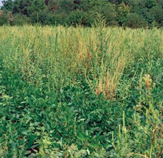 Fungus May Offer Natural Weed Control