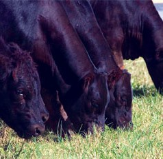 Feed supplementation needed for Georgia cattle farmers