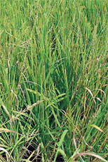 New Rice Competes with Weeds, Offers High Grain Quality to Boot