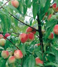 Georgia's peach crop benefitting from cold temperatures