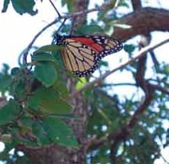 Monarch butterfly numbers could be at historic lows this year, study suggests