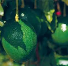 UF/IFAS-tested treatment retains avocado taste, smell while keeping it fresh