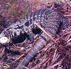 UF/IFAS research: Invasive lizards could threaten Florida's nesting reptiles