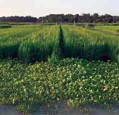 Using Weedy Rice Traits to Boost Cultivated Rice Yields