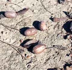 Georgia pecan crop lacking in size