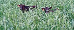 ARS Study Shows No Damage to Soils from Grazing of Cover Crops