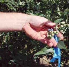 Blueberry specialist, ag engineer help blueberry farmers with improved spraying techniques
