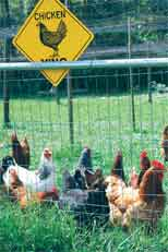 Smart purchasing, safe handling help ensure healthy backyard chickens and keepers
