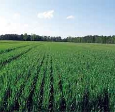 Wheat Varieties Make Way to Breads and Malt Beverages