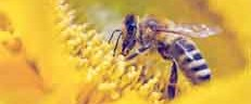 Are bees 'hooked' on nectar containing pesticides?