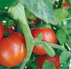 Recipe for Flavorful Tomatoes: Heat Before Chilling