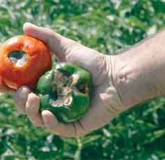 Calcium-related disorder impacts Georgia's bell pepper production