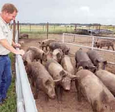 UF/IFAS researchers use pigs to root out problem weeds