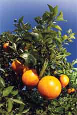Citrus greening research gets $1 million in state budget funding