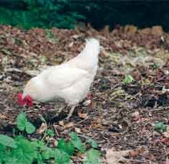 Backyard chicken owners should protect their flocks from avian influenza