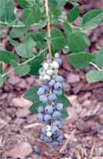 UF/IFAS scientists zero in on genetic traits for best blueberry taste