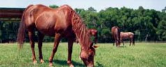 New UF/IFAS Extension publication can help owners protect horses from creeping indigo