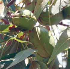 UGA Cooperative Extension pecan specialist Lenny Wells optimistic about this year's crop