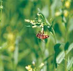 Camelina Cover Crops a Boon for Bees