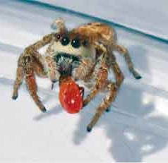 Jumping spiders can learn to avoid red, toxic bugs; stay alive longer and eat agricultural pests