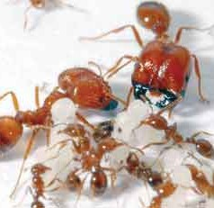 Tropical Fire Ant Movement Traced to Spanish Ships