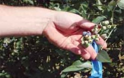 Warm and wet December worries peach, pecan and blueberry farmers