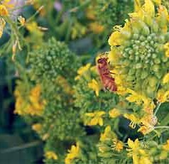 Bees Abuzz Over Rapini