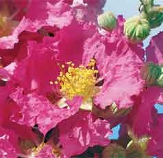 A Striking New Crape Myrtle for Florida's Gardens and Landscapes