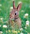 Rabbits can be rascally foes in the garden