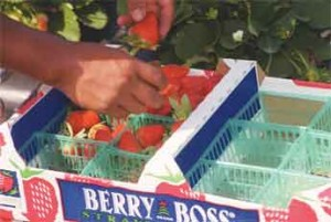 Consumers in five major cities east of the Mississippi River say they love Florida strawberries, but they don't always know that such strawberries are at their grocery store, new UF/IFAS research shows. Joy Rumble, a UF/IFAS assistant professor of agricultural education and communication, sees this finding as an opportunity to increase labeling on packages of strawberries to tell consumers the strawberries are from Florida. Credit: UF/IFAS file.