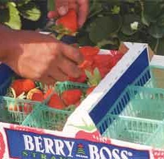 UF/IFAS study identifies opportunity for further promotion of Florida strawberries