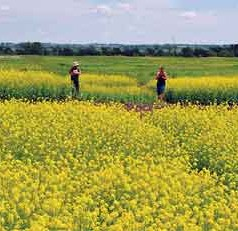 Canola Beats Soybean as Protein Source for Dairy Cattle