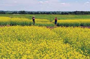 Canola, traditionally raised for its seed oil, can also be a good source of protein for dairy cattle.