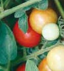 Add organic matter, water deeply for healthy tomato plants