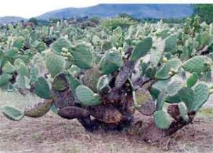 This is a prickly pear plantation in Axapusco, Estado de Mexico, Mexico. Credit: J.A. Cruz-Rodríguez
