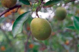 This file photo from 2008 shows a lopsided fruit from a citrus greening-infected tree in Florida. A new UF/IFAS survey shows citrus growers estimate about 80 percent of their trees are infected with greening. Credit: UF/IFAS file.