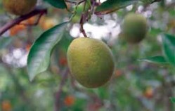 Florida citrus growers: 80 percent of trees infected by greening