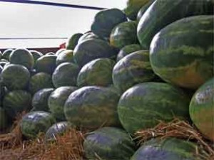 Georgia watermelons harvested for delivery. Image credit: Taylor Dutton.